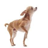 奇瓦瓦狗头发短小 免版税库存图片