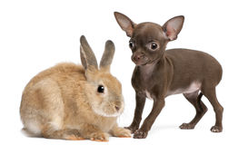 奇瓦瓦狗小狗、10个星期年纪和兔子 免版税库存图片