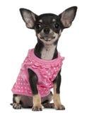 奇瓦瓦狗小狗佩带的粉红色, 4个月 免版税库存照片