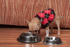奇瓦瓦狗小狗在家穿戴了与套头衫饮用水 免版税库存照片