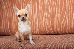 奇瓦瓦狗小狗坐沙发,女性4个月 免版税库存照片