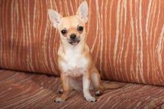 奇瓦瓦狗小狗坐沙发,女性4个月 库存照片