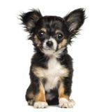 奇瓦瓦狗小狗开会,看照相机, 3个月 免版税图库摄影