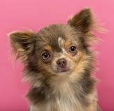奇瓦瓦狗小狗的特写镜头, 6个月,被隔绝 免版税图库摄影