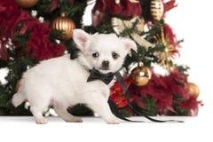 奇瓦瓦狗小狗穿戴了走在圣诞树前面 免版税库存图片