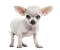 奇瓦瓦狗小狗身分,看照相机, 4个月 图库摄影