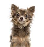 奇瓦瓦狗小狗, 6个月特写镜头,看照相机 免版税库存照片