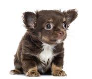 奇瓦瓦狗小狗, 2个月,坐直和看 免版税库存照片