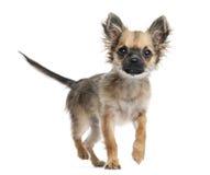 奇瓦瓦狗小狗, 4个月,走往照相机 免版税库存图片
