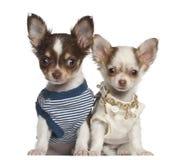 奇瓦瓦狗小狗, 12个星期年纪,坐 免版税库存图片