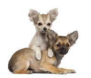 奇瓦瓦狗小狗, 3个月,位于 免版税库存照片