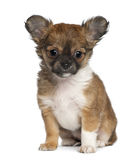 奇瓦瓦狗小狗, 3个月,坐 库存图片