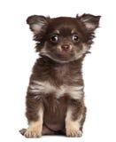 奇瓦瓦狗小狗, 3个月,坐 免版税库存照片