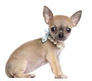 奇瓦瓦狗小狗, 4个月,佩带的珍珠 免版税库存照片