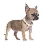 奇瓦瓦狗小狗, 4个月,佩带的珍珠 库存照片