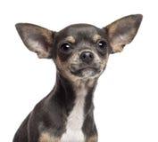奇瓦瓦狗小狗, 4个月,查看照相机 库存照片