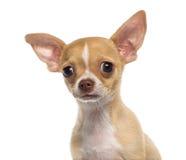 奇瓦瓦狗小狗(3个月)的特写 图库摄影