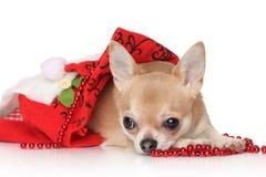 奇瓦瓦狗帽子圣诞老人 库存照片