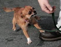 奇瓦瓦狗平均值 免版税库存图片