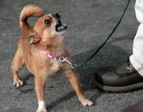 奇瓦瓦狗平均值 库存图片