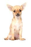奇瓦瓦狗年轻人 库存图片