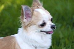 奇瓦瓦狗接近的纵向 免版税库存照片