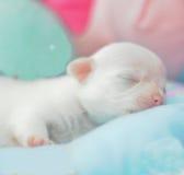 奇瓦瓦狗新出生的微小的白色 图库摄影