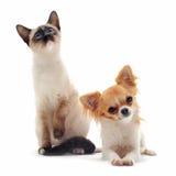 奇瓦瓦狗暹罗语小猫的小狗 免版税图库摄影