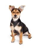 奇瓦瓦狗杂种坐的闭合值的眼睛 免版税库存照片