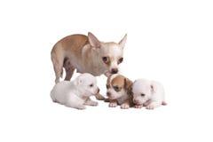 奇瓦瓦狗母亲和她的小狗 库存图片