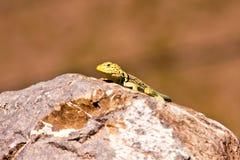 奇瓦瓦狗沙漠蜥蜴1 免版税库存图片
