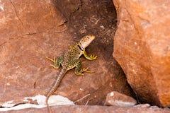 奇瓦瓦狗沙漠蜥蜴2 免版税库存图片