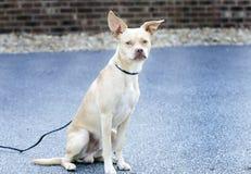 奇瓦瓦狗波士顿狗被混合的品种狗 免版税库存照片
