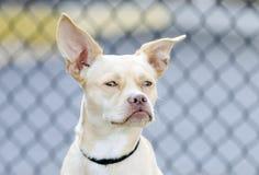 奇瓦瓦狗波士顿狗被混合的品种狗 库存照片
