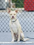 奇瓦瓦狗波士顿狗被混合的品种狗 库存图片
