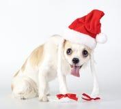 奇瓦瓦狗滑稽的圣诞老人 图库摄影