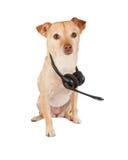 奇瓦瓦狗狗佩带的耳机集合 免版税库存图片
