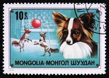 奇瓦瓦狗狗品种和狗马戏,大约1978年 库存照片