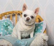 奇瓦瓦狗狗坐椅子在演播室,画象 免版税图库摄影