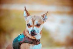 奇瓦瓦狗狗有未聚焦的背景 库存照片