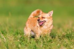 奇瓦瓦狗狗的画象 免版税库存图片