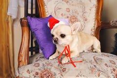 奇瓦瓦狗狗的画象在圣诞老人帽子的 免版税库存照片