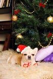 奇瓦瓦狗狗睡着在圣诞树下,新年卡片 免版税库存照片