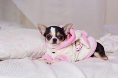 奇瓦瓦狗狗穿说谎在床上的浴巾 免版税库存照片