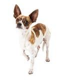 奇瓦瓦狗狗被混合的品种 图库摄影