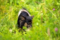 奇瓦瓦狗狗跟踪 免版税库存照片