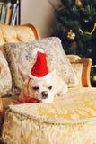奇瓦瓦狗狗采取葡萄酒扶手椅子有坐垫的,圣诞节装饰的一基于 免版税图库摄影