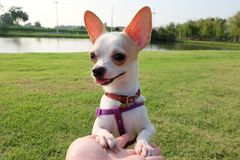 奇瓦瓦狗狗,它非常好的` s逗人喜爱和 免版税图库摄影