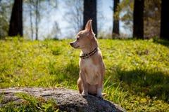 奇瓦瓦狗狗, 12岁 库存图片