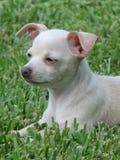 奇瓦瓦狗白色 库存图片